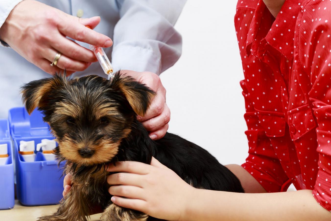 Как сделать первую прививку щенку йорка